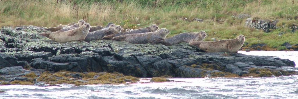 Seals on the Isle of Mull