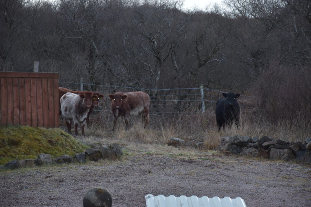 Cows in Killoran House Car Park