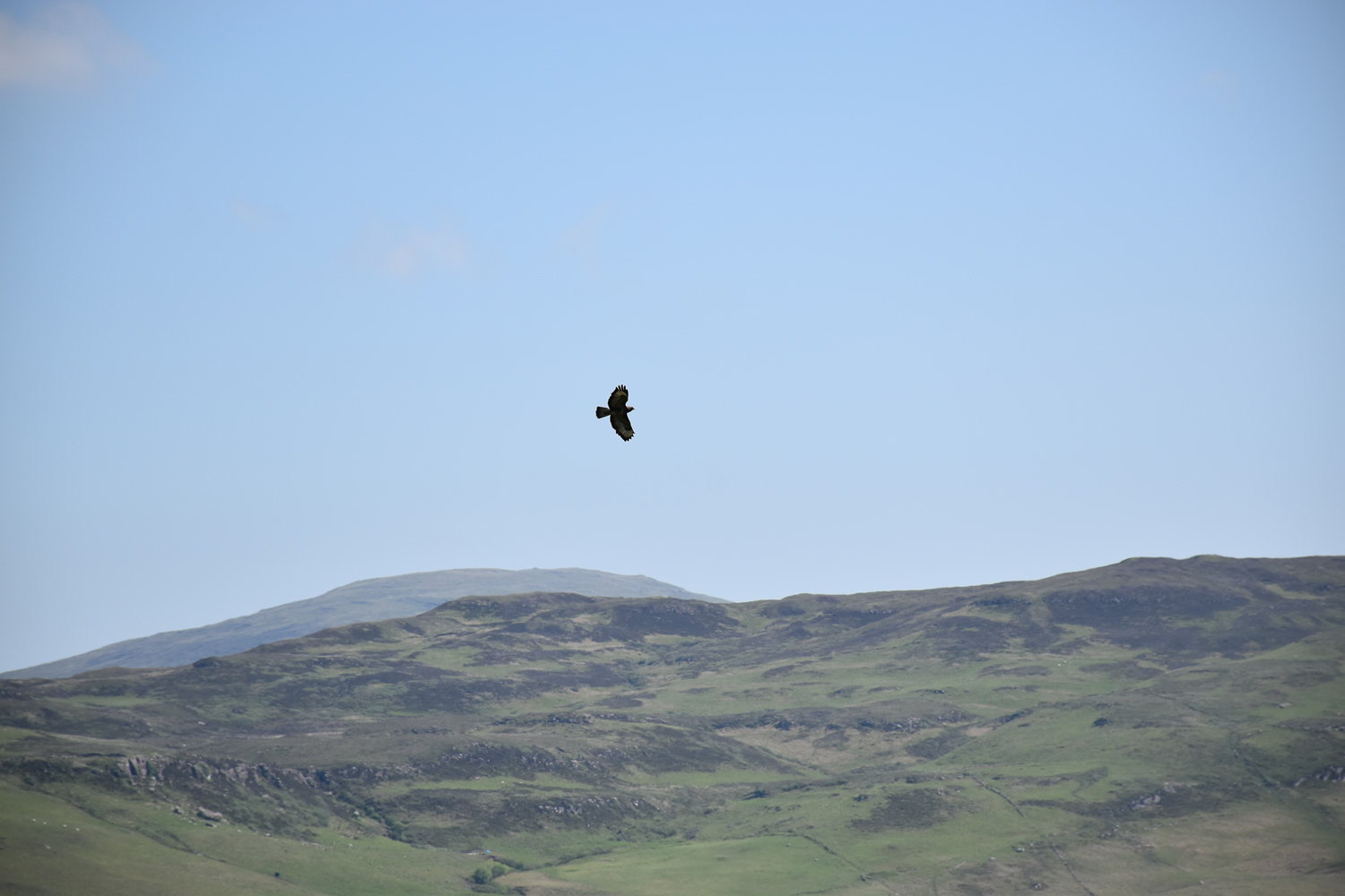 White Tailed Eagle at Killoran House May 2017 (01)
