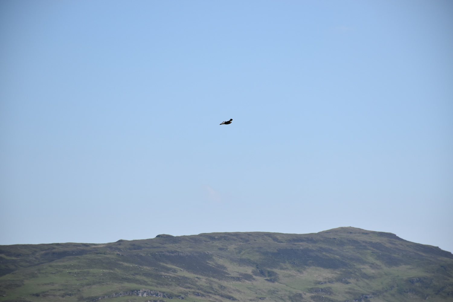 White Tailed Eagle at Killoran House May 2017 (02)