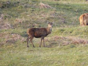Killoran House Deer 04