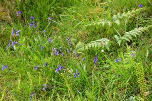 Killoran House Garden Blue Bells