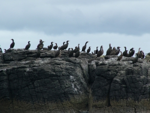 Birds on Treshnish (2009)