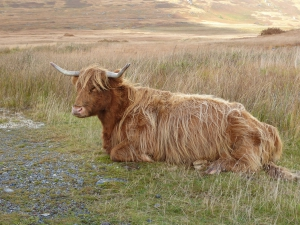 Highland Cattle (2016)