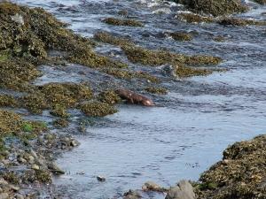 Sea Otter (2009)