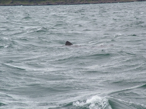 Basking Shark (2009)